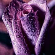 Dew Drops And Purple Rose Art Print