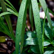 Dew Drops Art Print