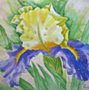Dew Drops Upon Iris.2007 Art Print