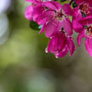 Dew On Blossoms Art Print