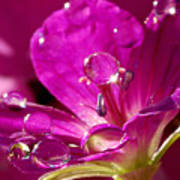 Dew On Pink Art Print