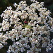 Dew On Queen Annes Lace Art Print