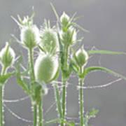 Dew On Thistles 3 Art Print
