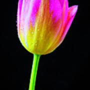 Dewy Pink Yellow Tulip Art Print