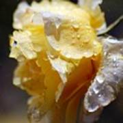 Dewy Yellow Rose 2 Art Print
