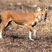 Dhole In The Wild Art Print
