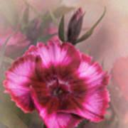 Dianthus Flower IIi Art Print