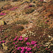 Diapensia And Lapland Rosebay Art Print
