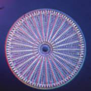 Diatom - Arachnoidiscus Ehrenberi Art Print