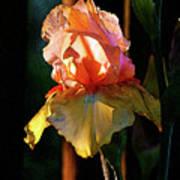 Digital Painting Iris Catching The Sun 6768 Dp_2 Art Print