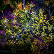Dill Going To Seed Art Print