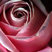 Dimming Rose Art Print