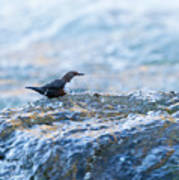 Dipper Searching For Food Art Print