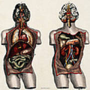 Dissected Torsos And Brains Art Print