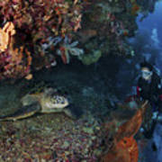 Diver And Sea Turtle, Manado, North Art Print by Mathieu Meur