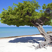 Divi Tree Of Aruba Art Print