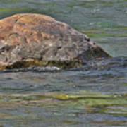 Diving Turtle Rock - Flathead River Middle Fork Mt Art Print by Christine Till