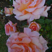 Does Roses Has Thorns Or Does Thorns Has Roses Art Print