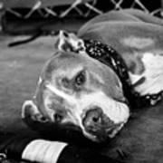 Dog At The Ring Art Print