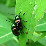 Dogbane Beetles Art Print
