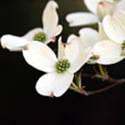 Dogwood Blooms Art Print