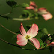Dogwood In Pink Art Print