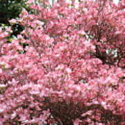 Dogwood Tree Flowers Art Prints Canvas Pink Dogwood Art Print