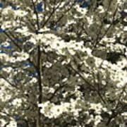 Dogwoods In Bloom Art Print