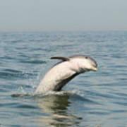 Dolphin Splash Art Print