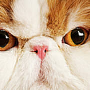 Domestic Persian Cat Against White Background. Art Print by Martin Harvey