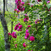 Domestic Rose Gone Wild Art Print