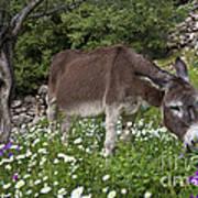 Donkey Grazing In Greece Art Print