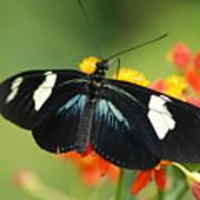 Doris Butterfly Art Print