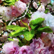Double Cherry Blossoms Art Print