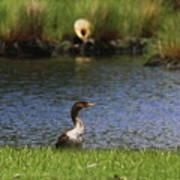 Double-crested Cormorant 3 Art Print