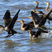 Double Crested Cormorants Art Print