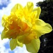 Double Daffodil Art Print