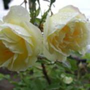Double Rainy Rose Art Print