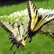 Double The Pleasure - Eastern Tiger Swallowtails Art Print