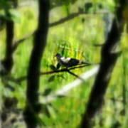 Dove In The Everglades  Art Print