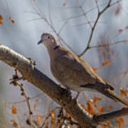Dove On A Branch Art Print