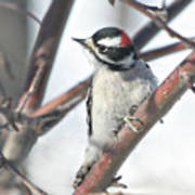 Downy Woodpecker In An Apple Tree Art Print