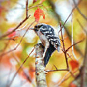 Downy Woodpecker In Autumn Forest Art Print