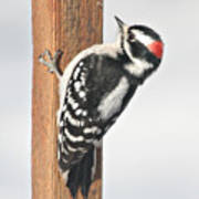 Downy Woodpecker On The Deck Post Art Print