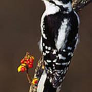 Downy Woodpecker On Tree Branch Art Print