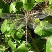 Dragonfly 1 Art Print