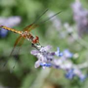 Dragonfly In The Lavender Garden Art Print