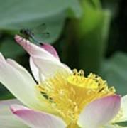 Dragonfly On Lotus Art Print