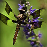 Dragonfly On Salvia Art Print