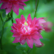 Dreamy Hot Pink Columbine Squared Art Print